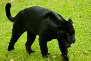 black jaguar6 by redbeard31
