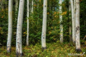 Close Up Aspens HDR by mjohanson