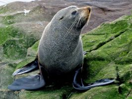 New Zealand Fur Seal 01 by es32