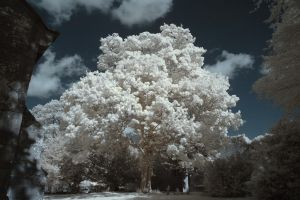Summer Tree IR by richsabre