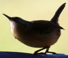 Berwicks Wren 01 by Thy-Darkest-Hour