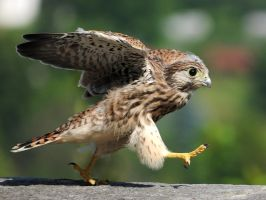 Young Kestrel 2 by jankuli