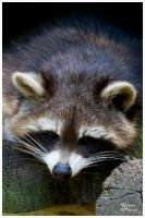 Racoon III by W0LLE