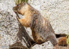 The marmot who inspects rocks by jaffa-tamarin