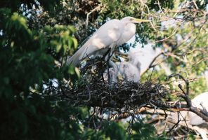 Egret Family by Geistson