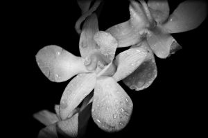 Black and white flower by Dom410