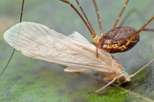 Harvestman 1 : 0 Caddisfly by melvynyeo