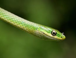 Rough Green Snake 20D0027567 by Cristian-M