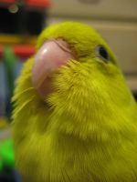 Pixie the Parrotlet by SirenGarg