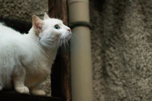 White cat. by Ithilwenion