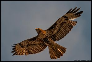 Redtail Hawk 3/23/14 by AirshowDave