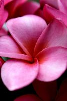 Pink Plumaria by Adomius