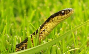 Close up (snake) by williamdaros