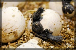 Hatching Turtle by theperfectlestat