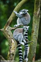 Curious Lemurs by amrodel