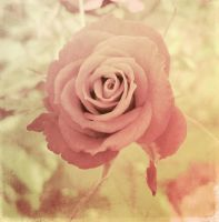 rose n by Amalus