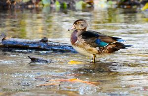mystery duck - who am I? by kayaksailor