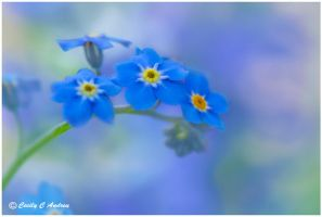 Forget Me Not by CecilyAndreuArtwork