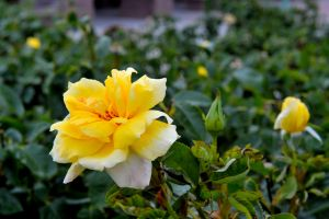 Rose by lawout16