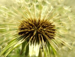 Inside of a dandelion by AnaPengu