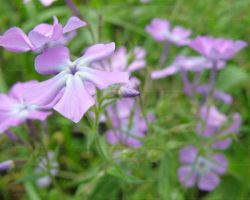 Blue Phlox by Cillana