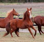 chestnut saddlebred 1 by venomxbaby