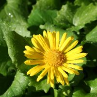 yellow daisy by evelynzee