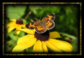 Pearl Crescent by MuseSusan