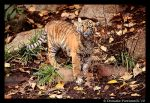 Baby Tiger Portrait VII by TVD-Photography