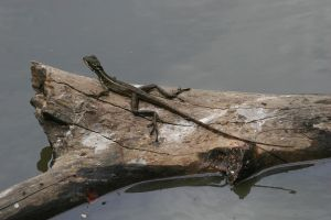Jesus Lizard by RaeyenIrael-Stock