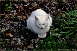white cat by brijome