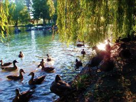 the ducks by simplicityx