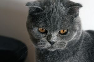 Silver Blue Scottish Fold by Vertor