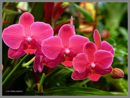 Hotpink orchids by Mogrianne