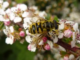 Hoverfly 2 Uni of Essex 1 by SrTw
