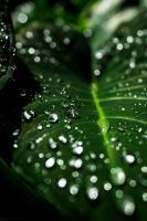 Water in the Leaf by GregChricent