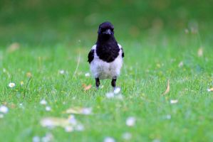 Juvenile magpie by pagan-live-style