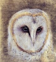 Barn Owl Study (Animal anatomy) by goRillA-iNK