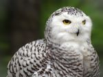 Snowy Owl by ColdEdge
