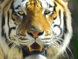 01- The Eye of the Tiger by JoeCorreia