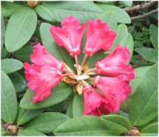 Red Rhododendron 1 by Kattvinge