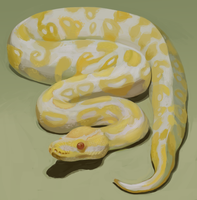 Albino Royal Python by Brainmatters