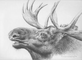 Moose - Pencil Study by denismayerjr