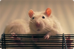 RatWhiskers by ArtCouple