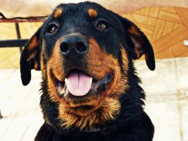 Rottweiler Smile by MiDulceLocura
