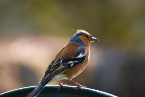 Chaffinch by james-dolan