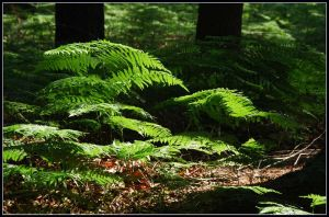 Ferns in a summer forest by jchanders