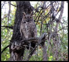 Great Horned Owl by LifeIsToBeHappy