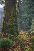 Old growth Forest Stock 2 by rustymermaid-stock