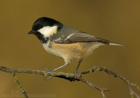 Coal Tit by Albi748